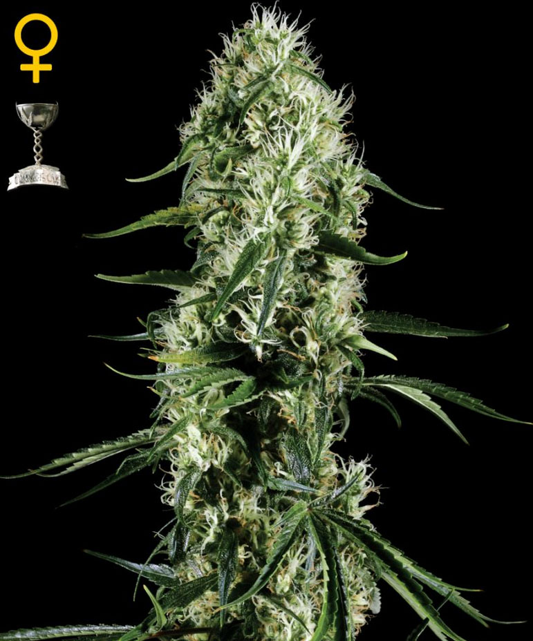 Super Silver Haze (Green House Seed), feminisierte Samen