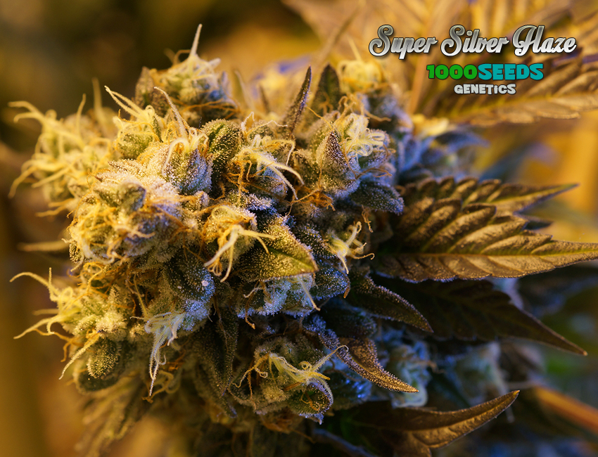 Super Silver Haze (1000Seeds Genetics)