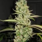 Super Sour Skunk (Hortilab), 10 regular Seeds
