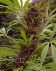 Sweet Purple (Paradise Seeds), feminisiert