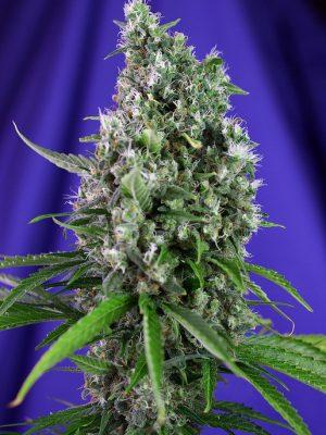 Sweet Trainwreck Auto (Sweet Seeds), autoflowering Samen