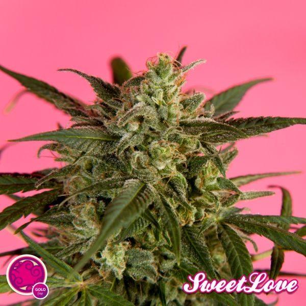 SweetLove (Philosopher Seeds) feminisierte Samen