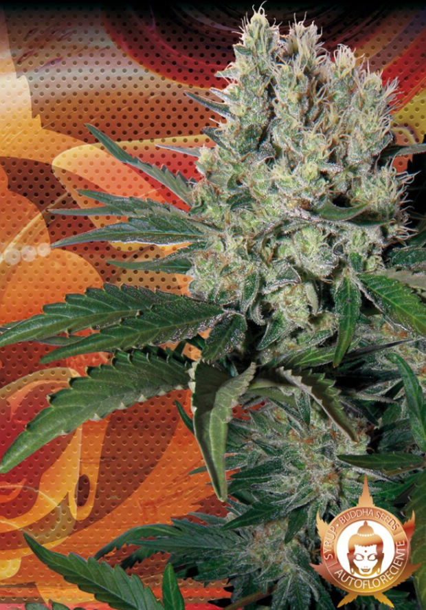 Syrup - Autoflowering (Buddha Seeds), feminisierte Samen