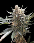Tangie (Reserva Privada), 13 regular Seeds