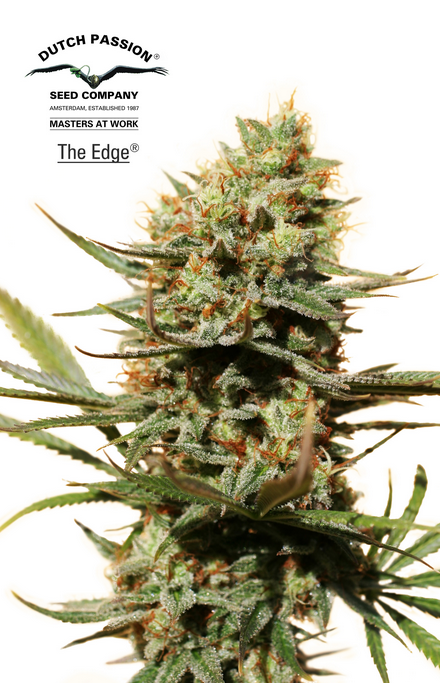 The Edge (Dutch Passion), feminisierte Samen