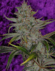 The Flav (TGA Subcool), 5 oder 10 regular Seeds