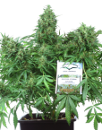 Think Different (Dutch Passion), 3 autoflowering Seeds