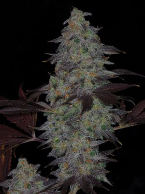 Time Wreck (TGA Subcool), 5 oder 10 regular Seeds