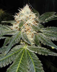 Tora Bora (Reserva Privada), 13 regular Seeds