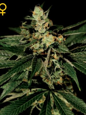 Train Wreck (Green House Seeds) feminisiert
