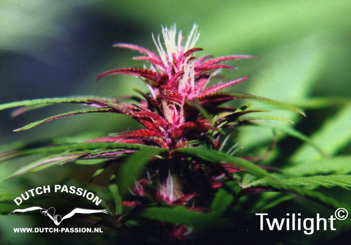 Twilight (Dutch Passion), 3 feminisierte Samen