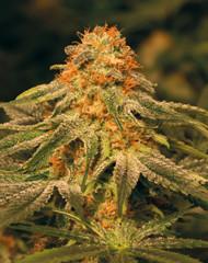 Vanilla Kush (Barney's Farm), 5 feminisierte Samen