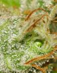 White Berry (Paradise Seeds), feminisierte Samen