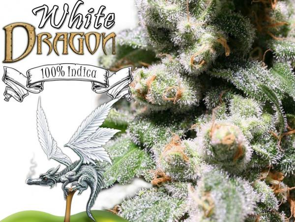 White Dragon (Eva Seeds), 3 feminisierte Samen