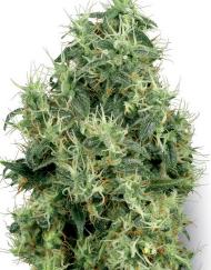 White Gold (White Label), 5 feminisierte Samen