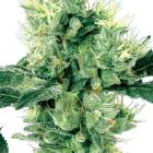 White Haze (White Label), 10 regular Seeds