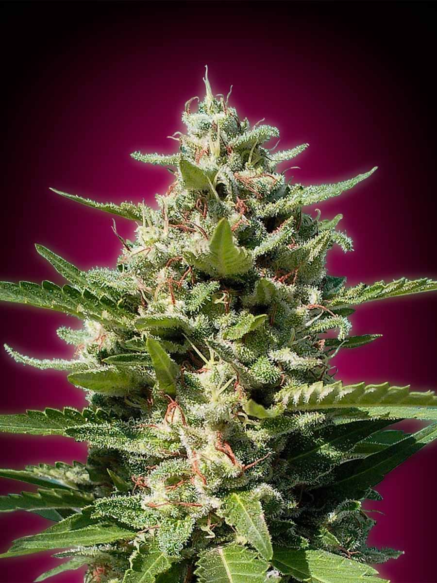 White Kush (Advanced Seeds), feminisierte Samen