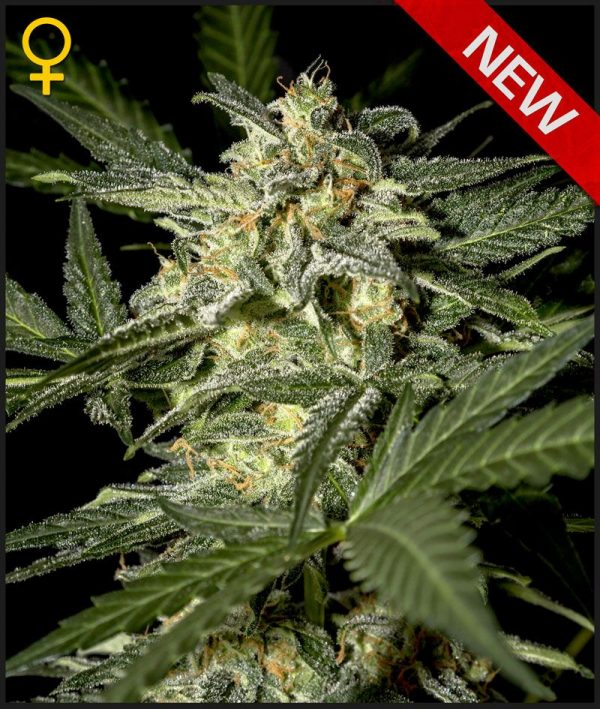 White Widow Auto (Green House Seeds), automatic Samen