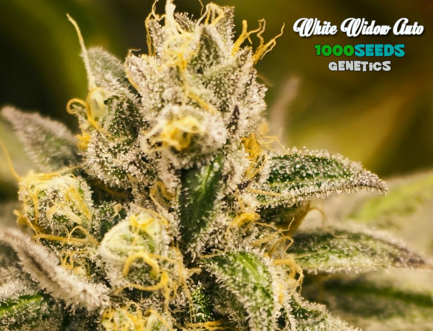 Auto White Widow (1000Seeds Genetics)