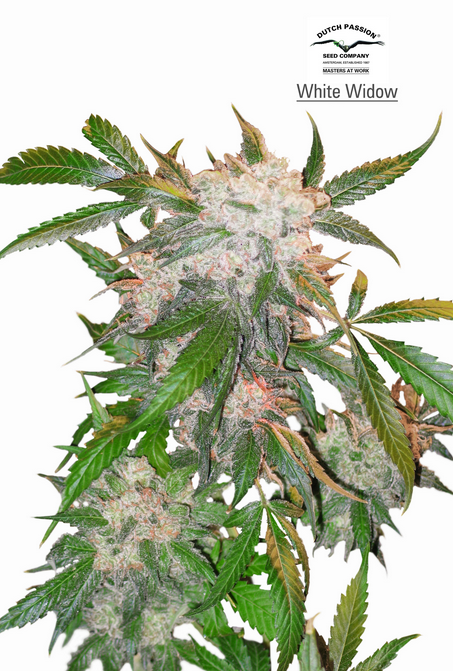 White Widow (Dutch Passion), 10 reguläre Samen