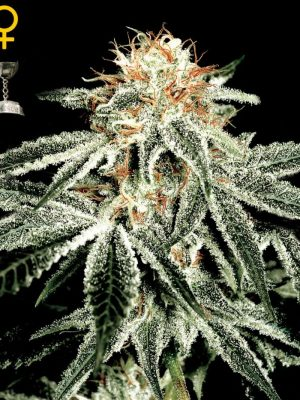 White Widow (Green House Seed), feminisierte Samen