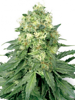 White Widow (White Label), 10 reguläre Samen