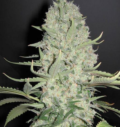 White Widow x Big Bud (Female Seeds), 4 feminisierte Samen