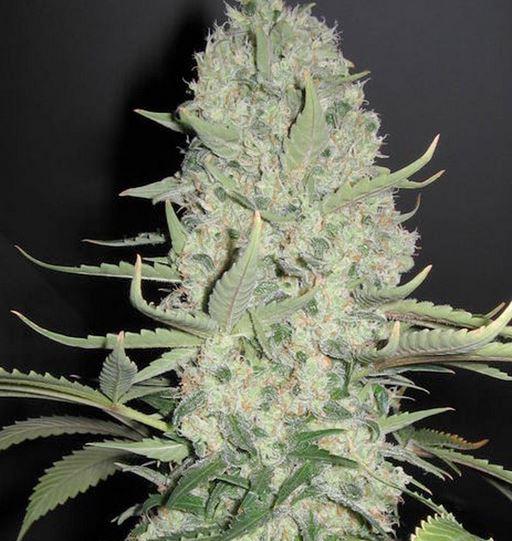 White Widow x Big Bud (Female Seeds), 4 feminisierte Samen
