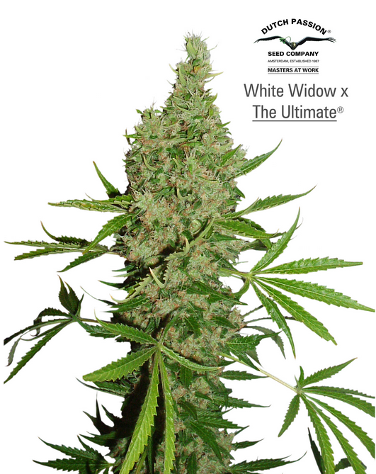 White Widow x The Ultimate (Dutch Passion), 10 reguläre Samen