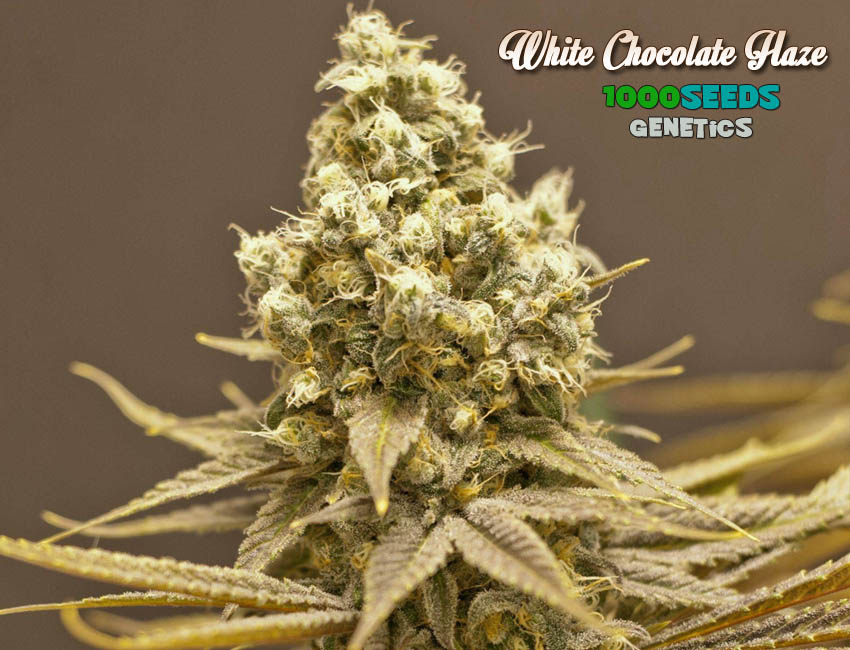 White Chocolate Haze (1000Seeds Genetics)