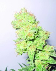 Y Griega CBD (Medical Seeds) feminisierte Samen