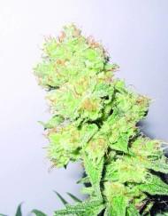 Y Griega CBD (Medical Seeds) feminisierte Samen