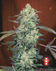 AK 47 (Serious Seeds) regular oder feminisiert