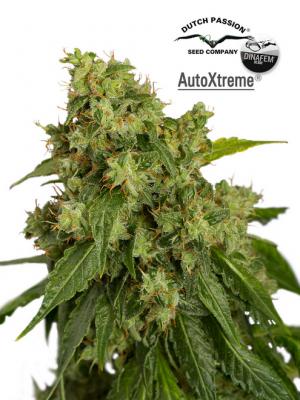 AutoXtreme (Dutch Passion & Dinafem), 3 autoflowering Samen