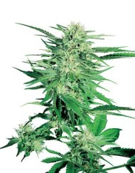 Big Bud (Sensi Seeds) feminisiert oder regulär