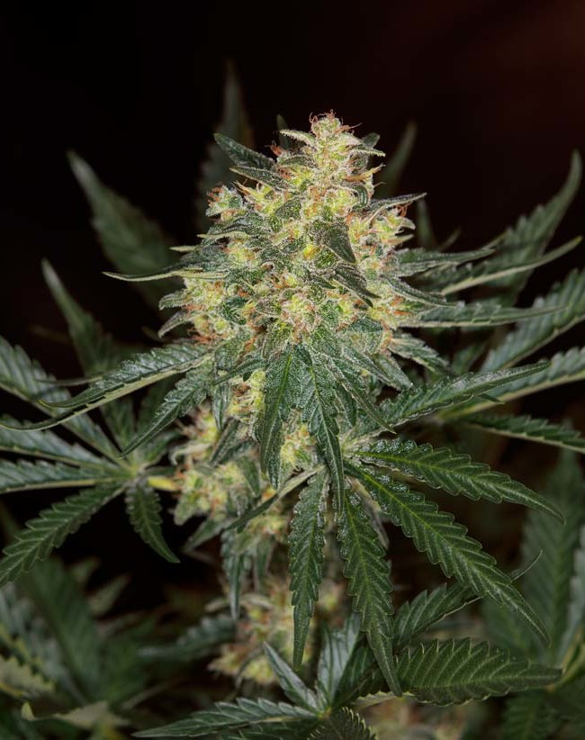 Black Jack Fast Version (Sweet Seeds), feminisierte Samen