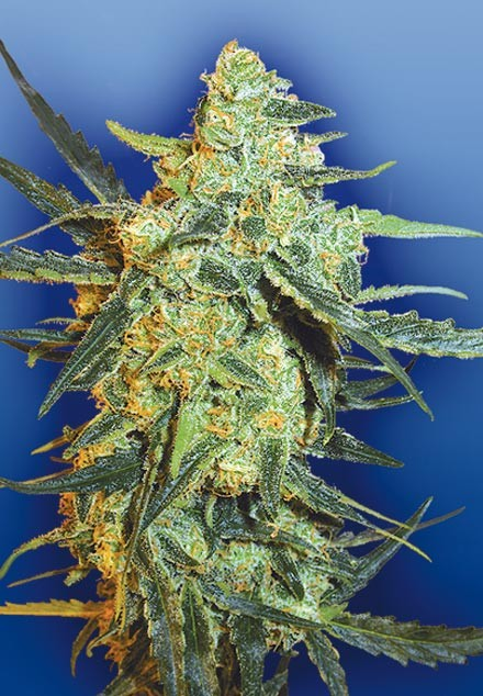 Blueberry Skunk (Flying Dutchmen), 5 feminisierte Samen