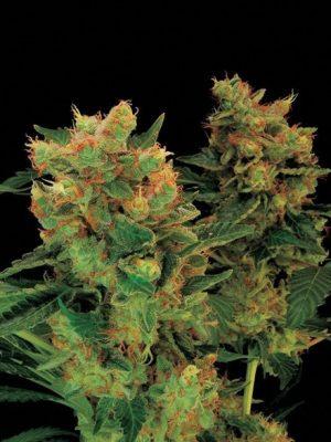 Blue Hash (Dinafem), feminisierte Samen