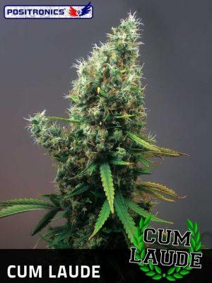 Cum Laude (Positronics), feminisierte Samen
