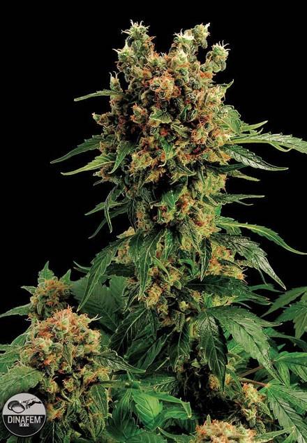 California Hashplant (Dinafem) feminisierte Samen