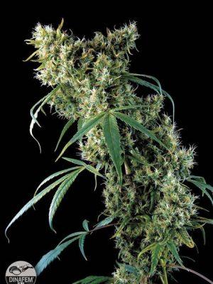 Super Silver (Dinafem), feminisierte Samen