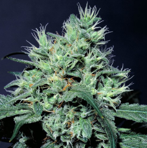 Dutch Dragon (Paradise Seeds), feminisierte Samen