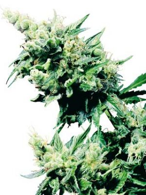 Hash Plant (Sensi Seeds), 10 reguläre Samen