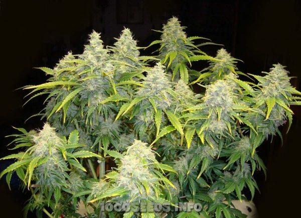 Industrial Plant (Dinafem) - feminisierte Samen