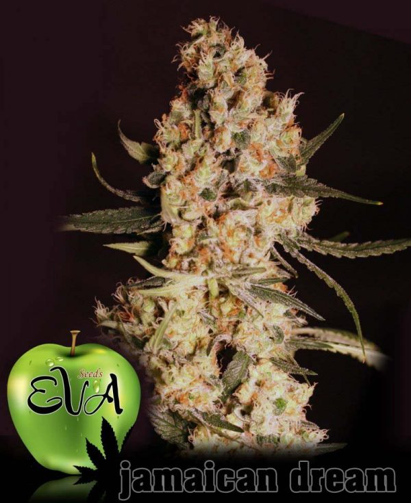 Jamaican Dream (Eva Seeds), 3 feminisierte Samen