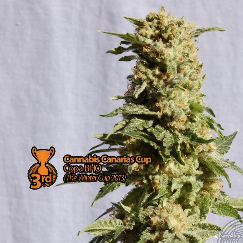 La Blanca (Kannabia), 5 feminisierte Samen