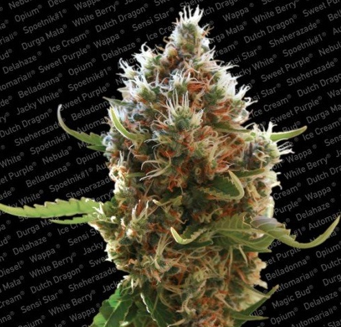 Lucid Bolt (Paradise Seeds), feminisierte Samen