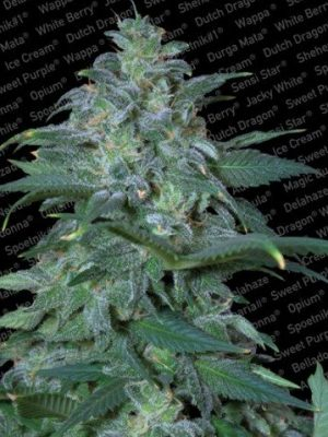 Magic Bud (Paradise Seeds), feminisierte Samen