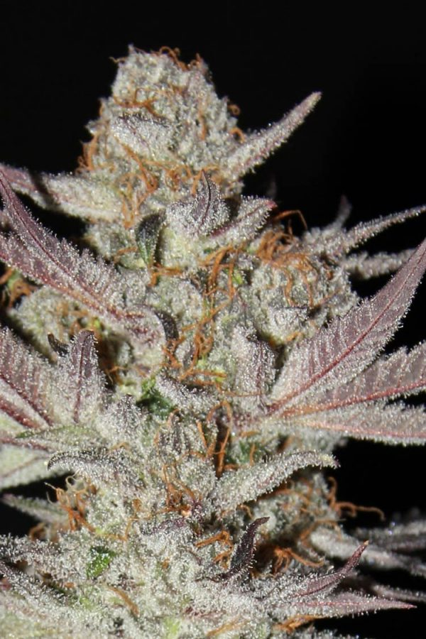 Marionberry (TGA Subcool), 5 oder 10 regular Seeds