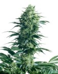 Mothers Finest (Sensi Seeds), 10 regular Samen